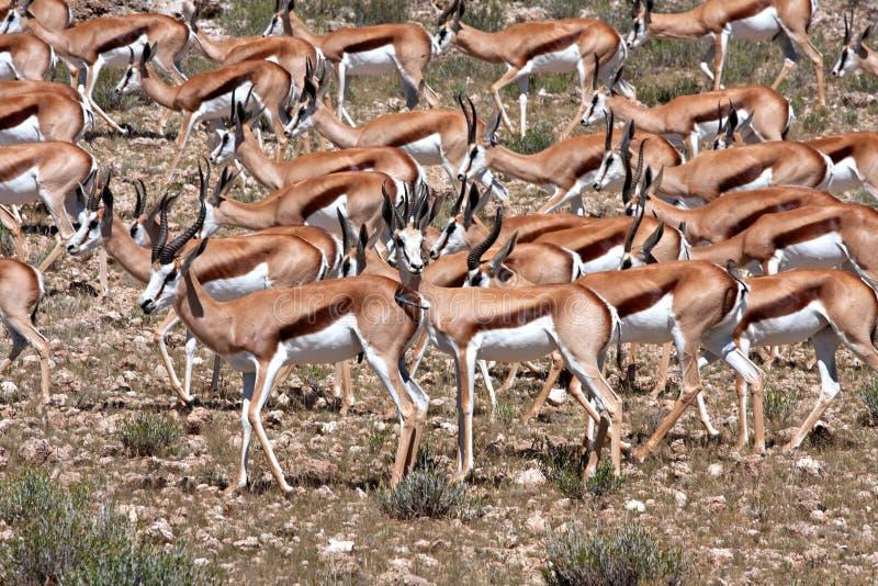 Springbok in Kalahari royalty free stock photography