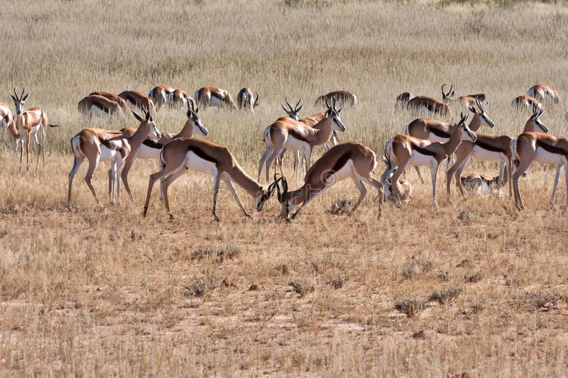Download Springbok in Kalahari stock image. Image of fighting - 19624317