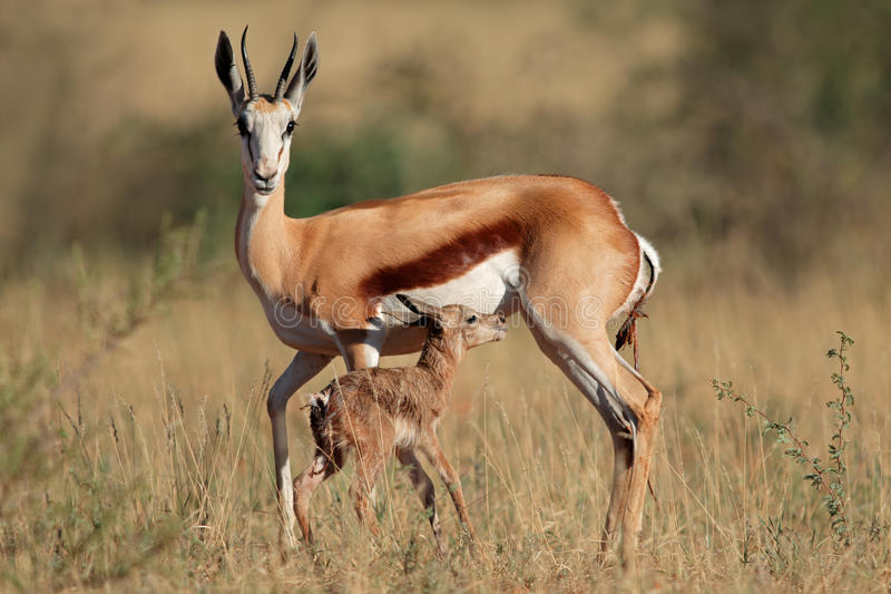 Springbok with lamb. Springbok antelope (Antidorcas marsupialis) with newly born lamb, South Africa royalty free stock photos