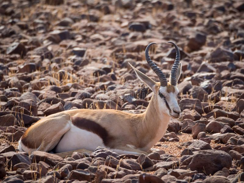 Springbok laying in rocky terrain at Palmwag Concession of Damaraland, Namibia, Southern Africa.  stock images
