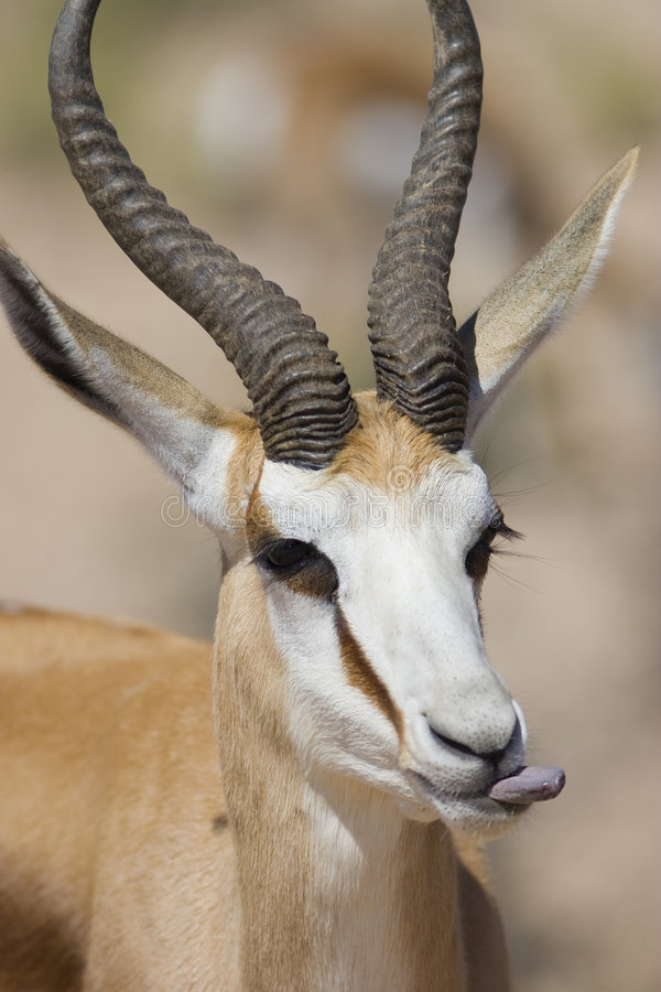 Springbok mâle photo stock