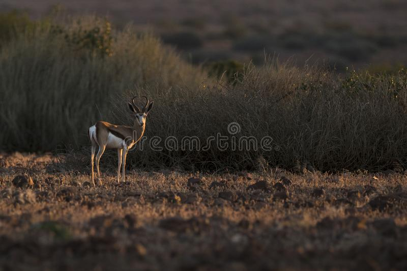 Springbok in nice light. Palmwag, Kaokoland, Kunene Region. Namibia. Harsh Landscape. Horizontal Image. Springbok in nice afternoon light. Palmwag, Kaokoland stock photo