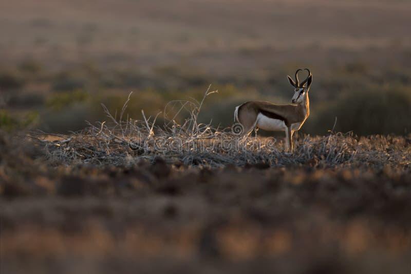 Springbok in nice light. Kaokoland, Kunene Region. Namibia. Harsh Landscape. Springbok in nice light. Palmwag, Kaokoland, Kunene Region. Namibia. Harsh royalty free stock image