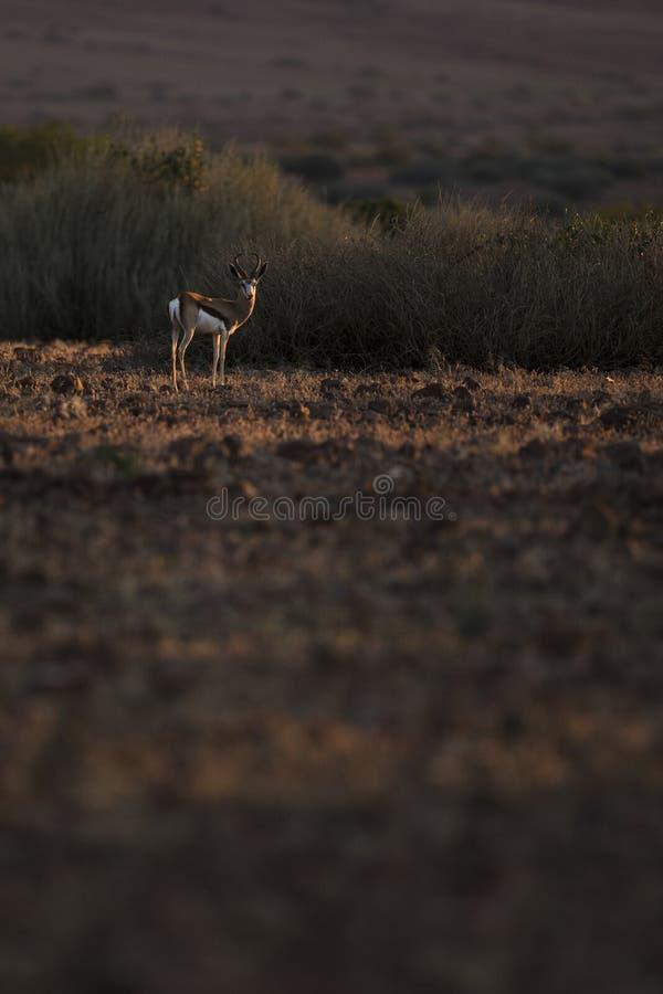 Springbok in nice light. Palmwag, Kaokoland, Kunene Region. Namibia. Harsh Landscape. Vertical Image stock photo