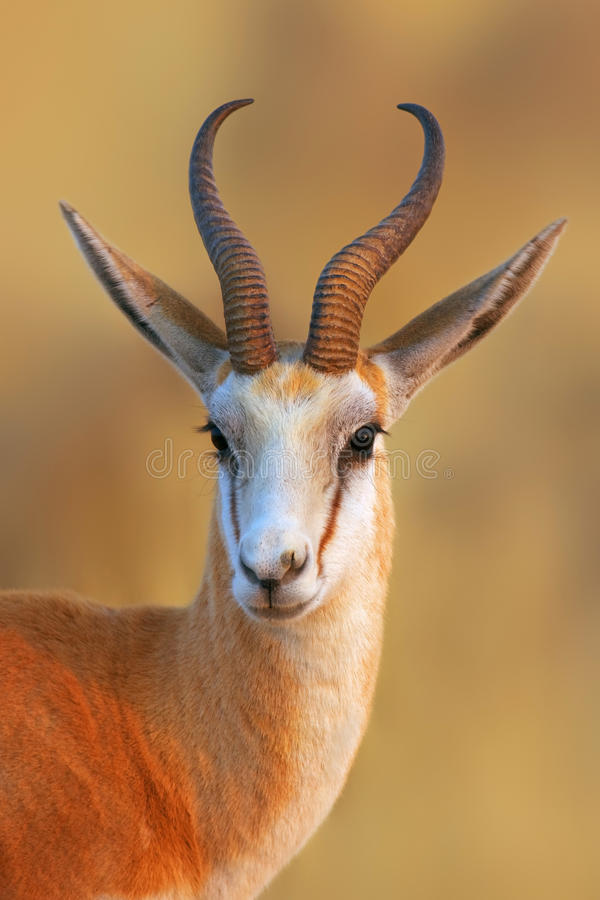Springbok portrait. Close-up portrait of a Springbok in early morning light; Antidorcas Marsupialis stock image
