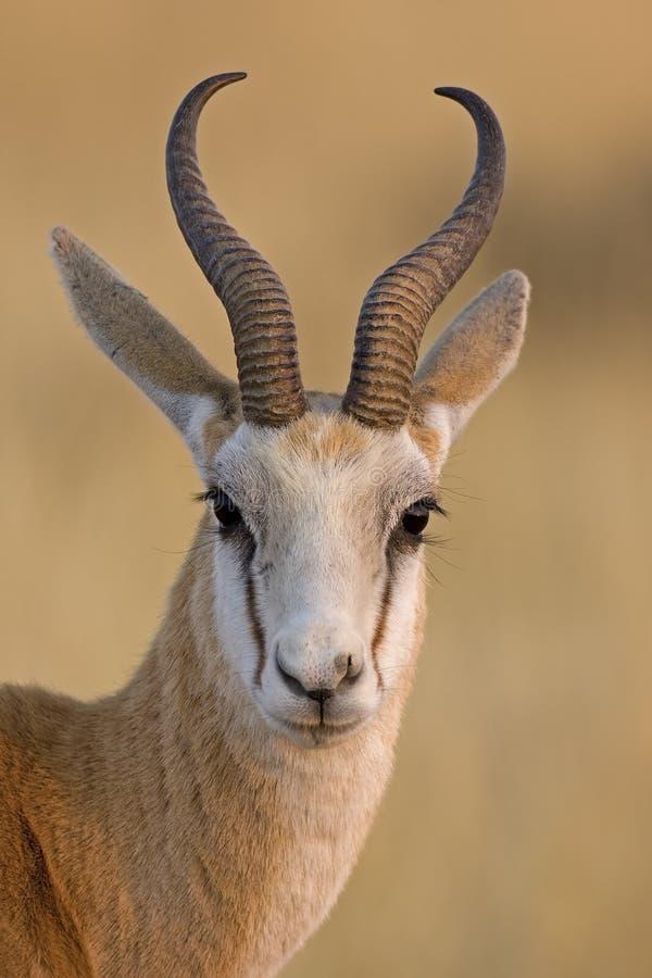 Springbok portrait royalty free stock photos