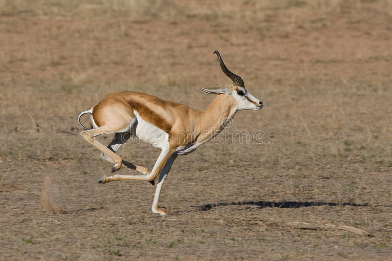 Springbok running. A male springbok running in a dry riverbed in the kalahari desert stock images