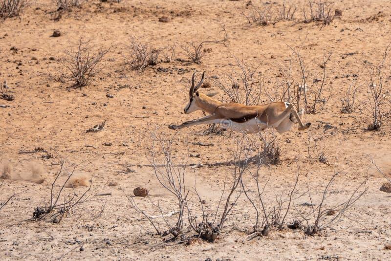Springbok Running e Leaping Midair fotos de stock royalty free