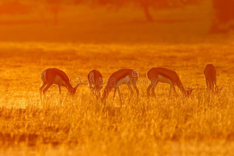 Springbok at sunrise royalty free stock images