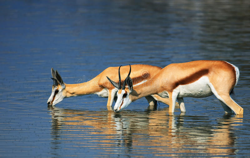 Springbok in water. Springbok standing fully in water while drinking; Antidorcas Marsupialis royalty free stock photos