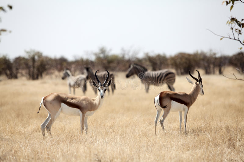 Springbok whit zebra on background. Namibia stock photography