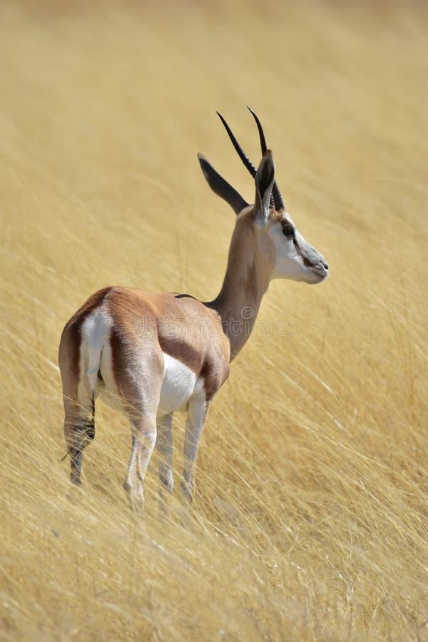 Springbok Zimbabwe Afrique image libre de droits