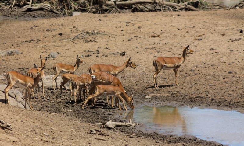 Springbokantilope in de savanne wilde aard van Afrika dichtbij waterbron royalty-vrije stock afbeelding