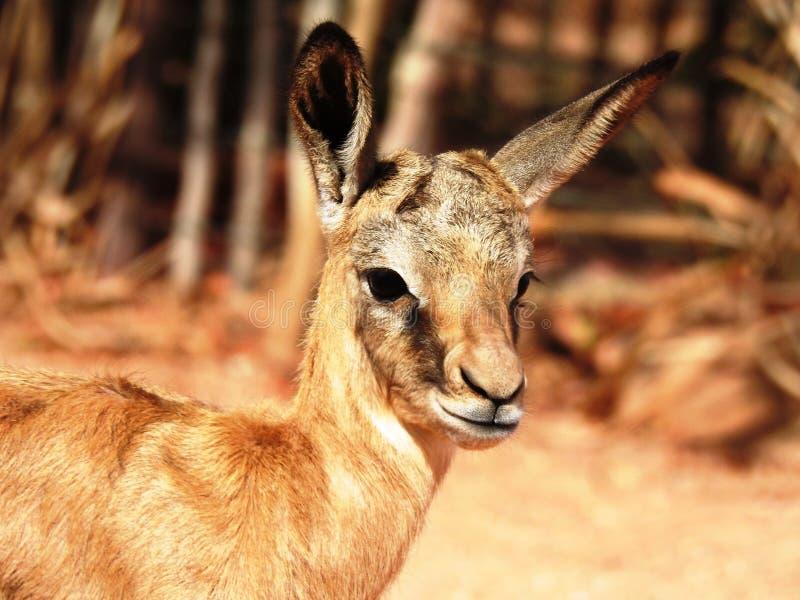 Springbokbaby royalty-vrije stock foto's