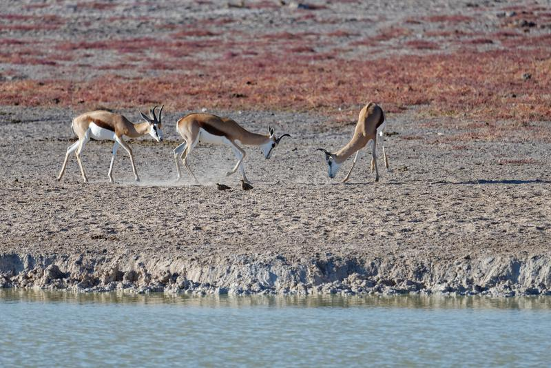 Springboks combattant en parc national d'Etosha, Namibie, Afrique photos stock