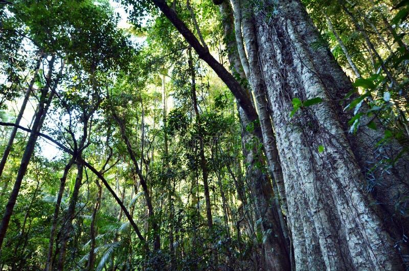 Springbrook nationalpark - Queensland Australien royaltyfri fotografi