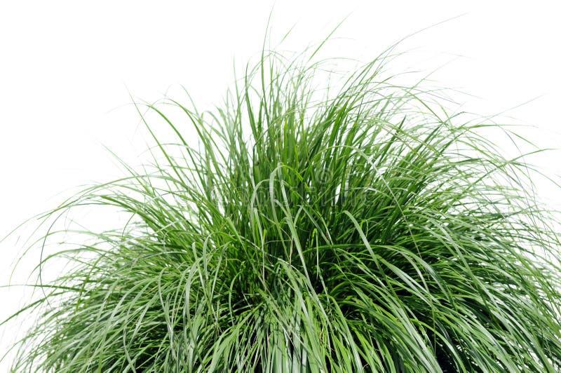 springbrunngräs över white royaltyfri fotografi