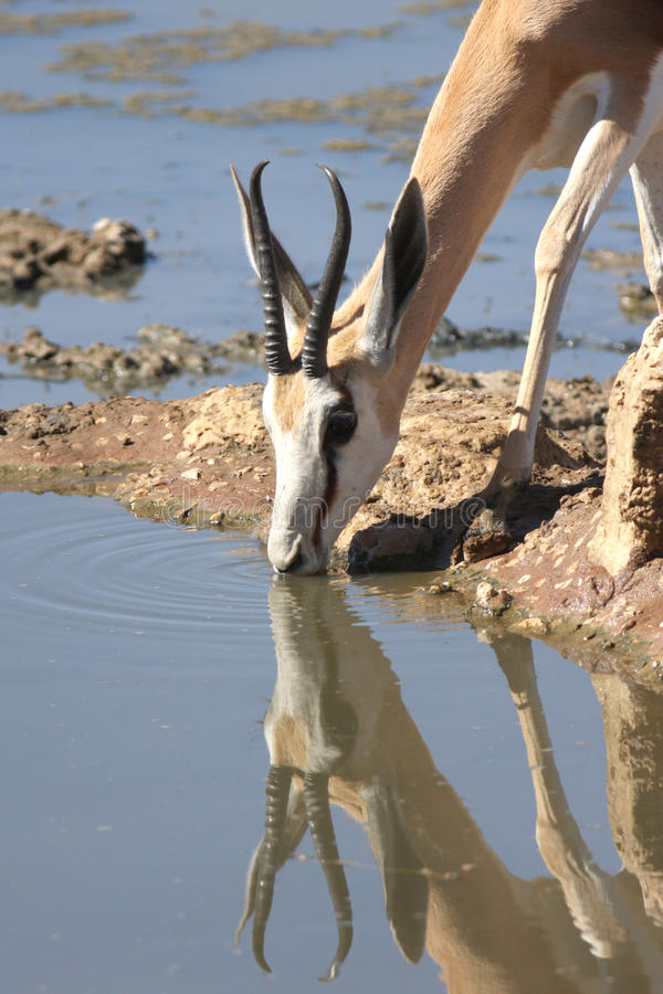 Download Springbuck stock photo. Image of outdoor, conservation - 13022624
