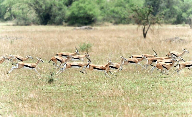 Download Springbuck Antelope Running Stock Photo - Image: 26979812
