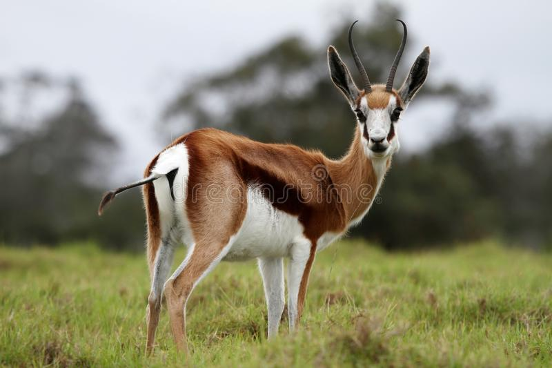 Springbuck-Antilope stockbild
