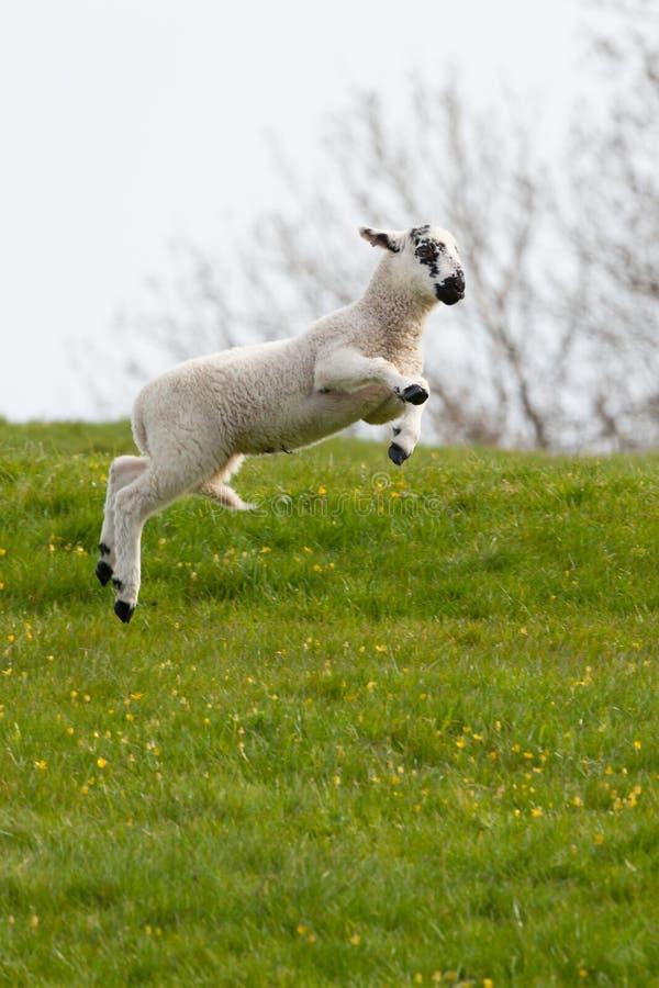 Springen des Frühlingslamms stockbild