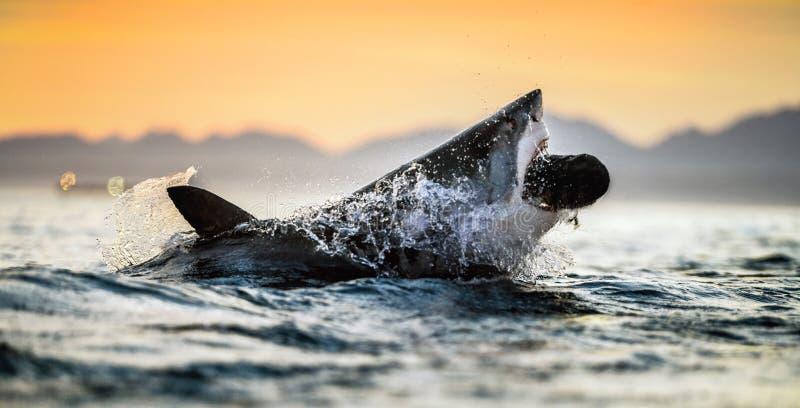 Springen des großen weißen Hais Roter Himmel des Sonnenaufgangs Großer Weißer Hai - Angriff Wissenschaftliche Bezeichnung: Carcha lizenzfreies stockbild