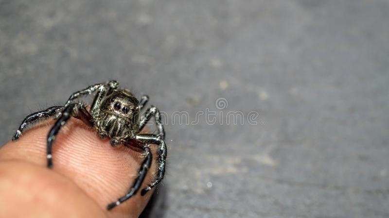 Springend spin kruip in het uiteinde van vinger met grijze vage achtergrond royalty-vrije stock afbeeldingen