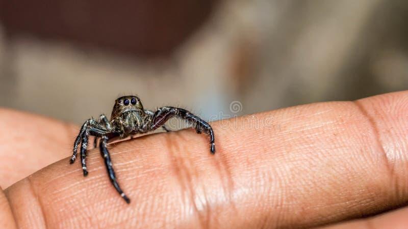 Springend spin kruip in het uiteinde van vinger met grijze vage achtergrond stock foto's