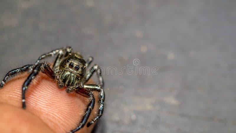 Springend spin kruip in het uiteinde van vinger met grijze vage achtergrond royalty-vrije stock foto