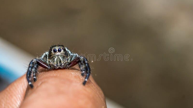 Springend spin kruip in het uiteinde van vinger met grijze vage achtergrond stock fotografie