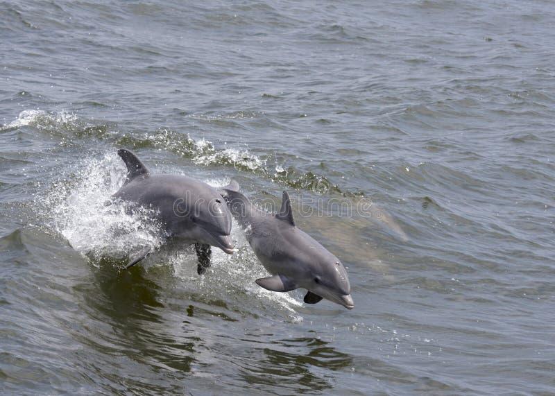 Springende Delphine stockfotos