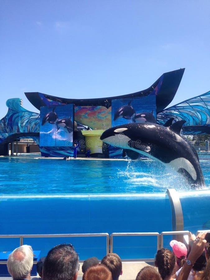 Springende Orka stock afbeelding
