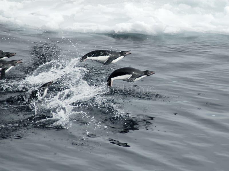 Springende Pinguine