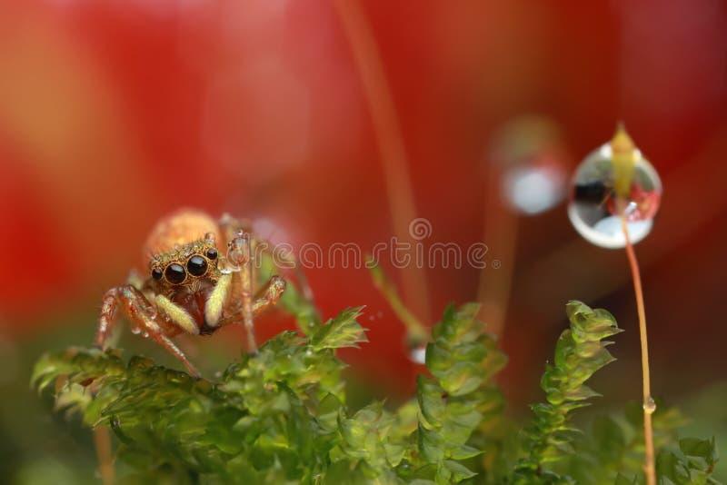 Springende spin en waterdaling op rode bloem in aard stock foto's