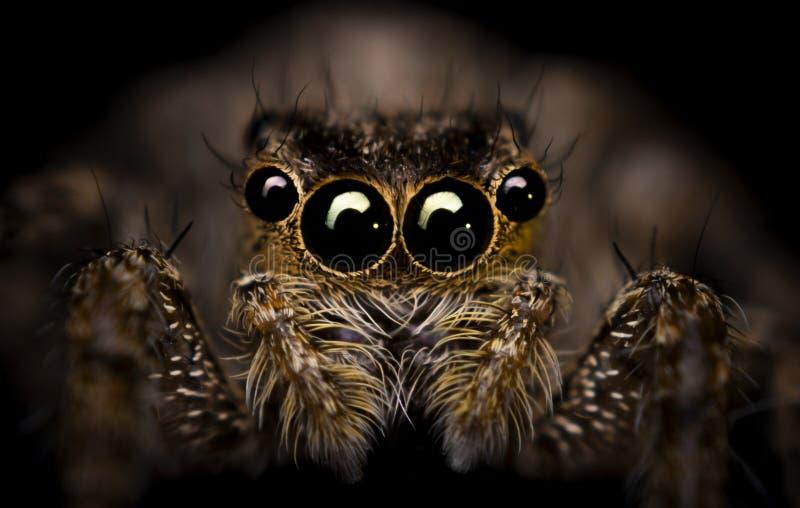Springende Spinne stockfoto