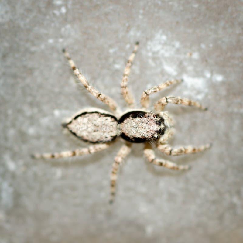 Springende Spinne. stockbilder