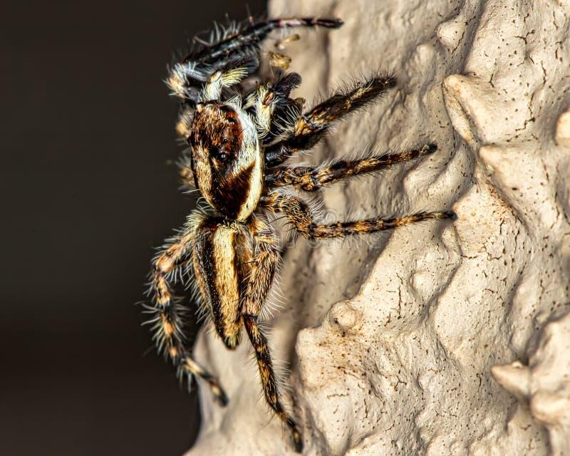 Springende Spinne auf der Wandmakrophotographie der Natur stockfotos