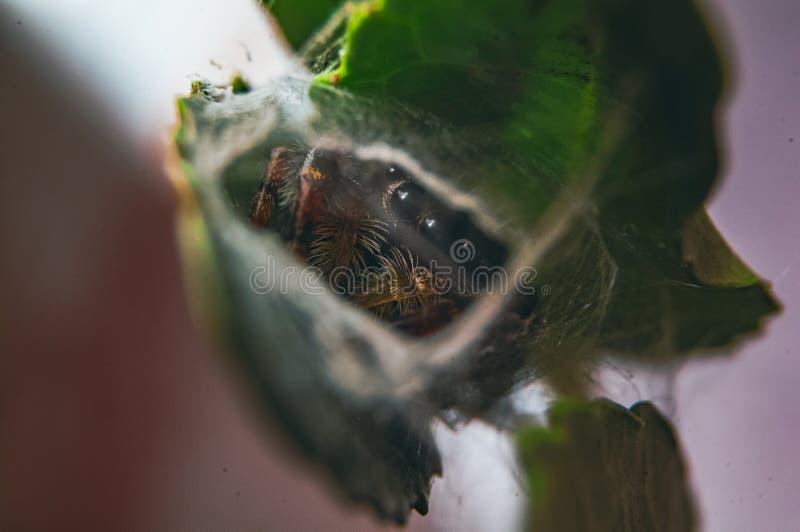 Springende Spinne auf einer Anlage lizenzfreie stockfotografie