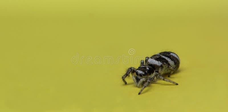 Springende Spinne auf einer gelben Notizanmerkung, Makrofoto stockbild