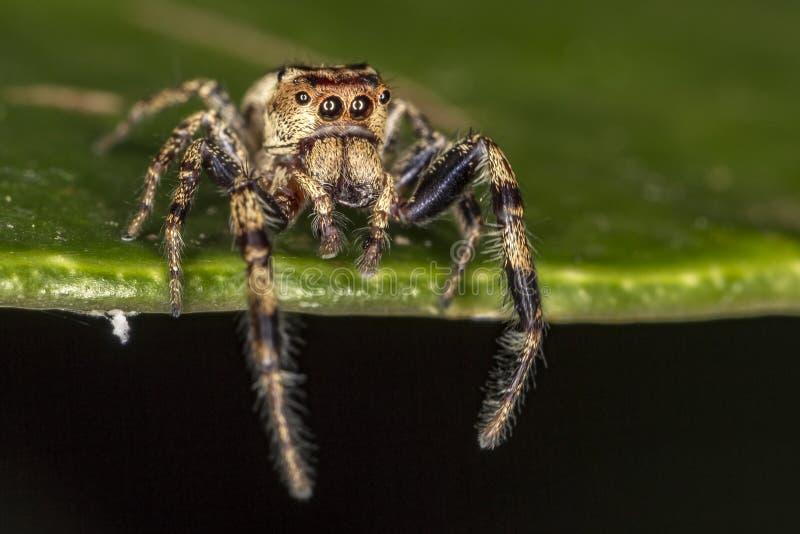 Springende Spinne auf Makrofoto des Blattextrem-Abschlusses oben - der springenden Spinne auf Blatt stockfotografie