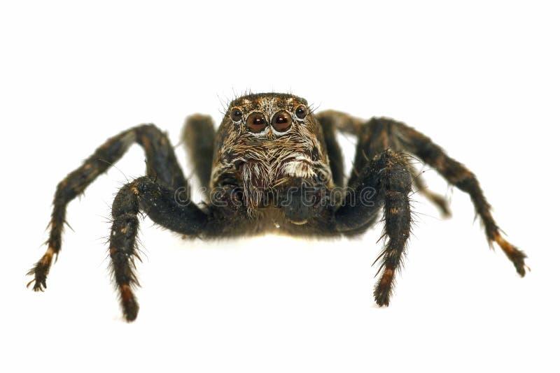 Springende Spinne auf weißem Hintergrund lizenzfreie stockfotografie