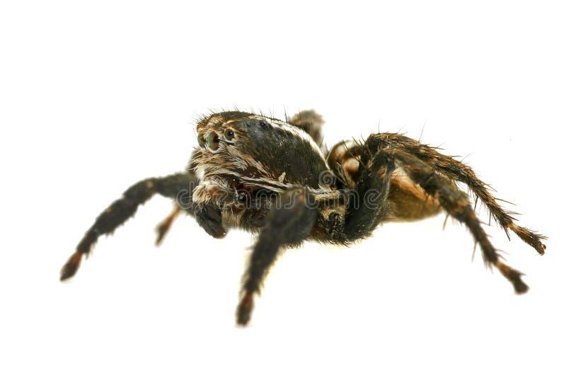 Springende Spinne auf weißem Hintergrund lizenzfreies stockfoto