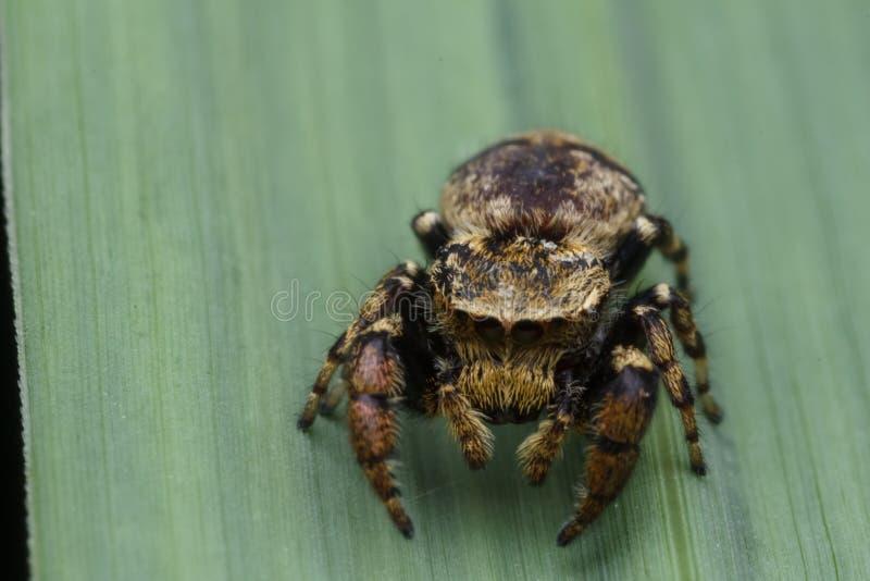 Springende Spinne in der Natur stockfoto