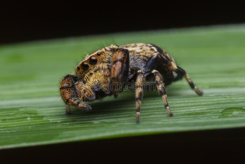 Springende Spinne in der Natur lizenzfreies stockbild
