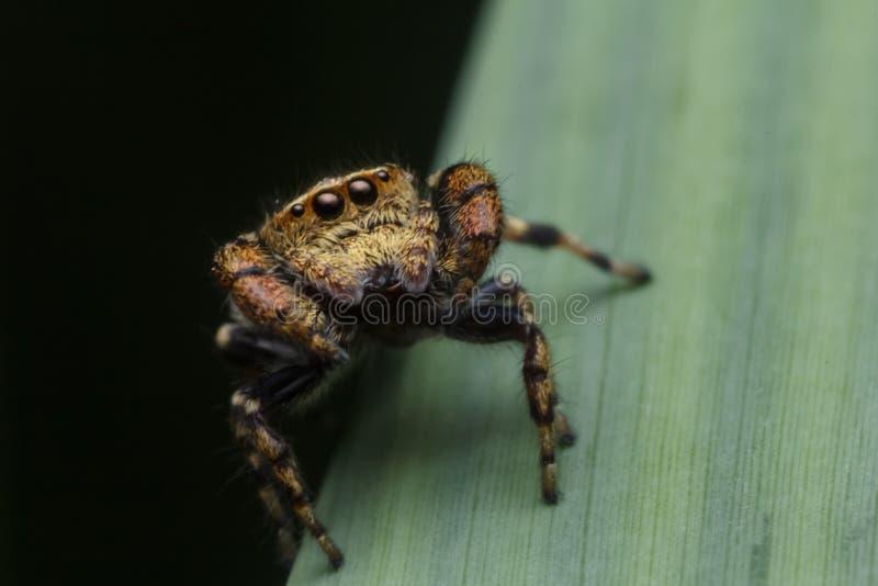 Springende Spinne in der Natur stockbild