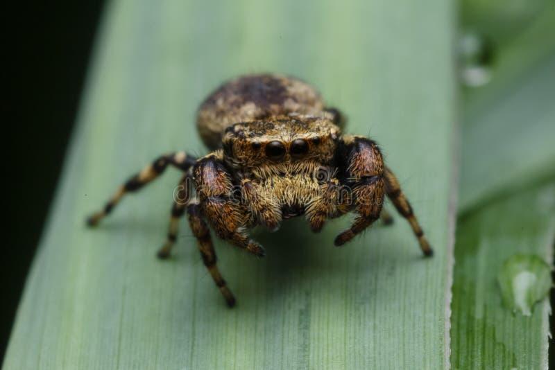 Springende Spinne in der Natur stockfotografie