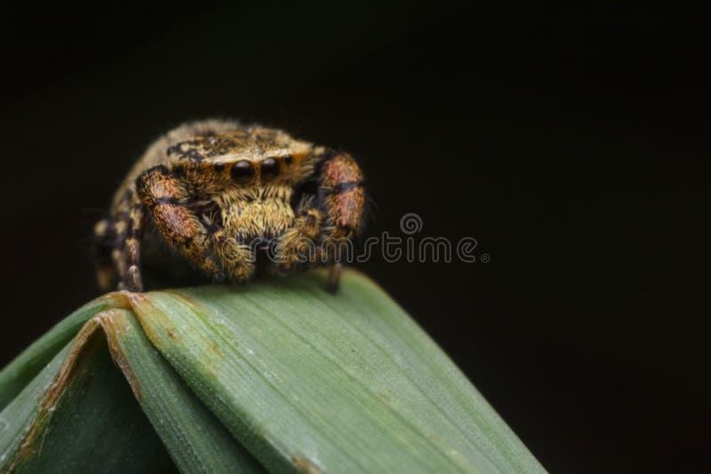 Springende Spinne in der Natur stockbilder