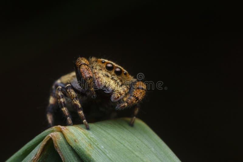 Springende Spinne in der Natur lizenzfreie stockbilder