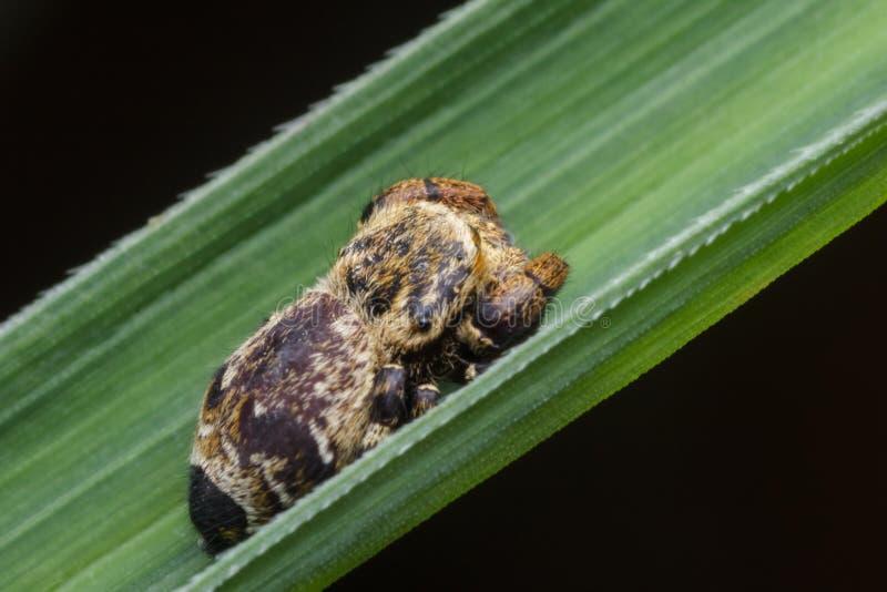 Springende Spinne in der Natur lizenzfreie stockfotos