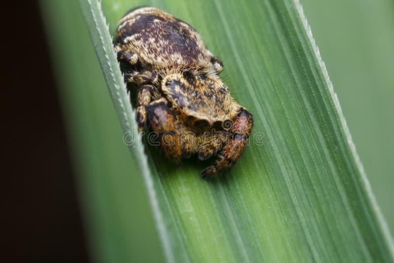 Springende Spinne in der Natur lizenzfreie stockfotografie